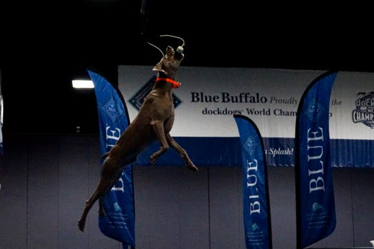 Grayson, whose handler Taylor Bottom hails from Kentucky, leaps during the Big Air competition at the DockDogs World Championship in Knoxville on Saturday.