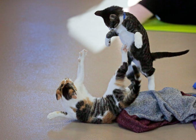 Kittens play during class as the Fox Valley Humane Association and Grace Under Fire Yoga bring together adoptable kittens and yoga class for Kitten Yoga on Saturday, Oct. 13, 2018, at the Fox Valley Humane Association in Appleton, Wis.