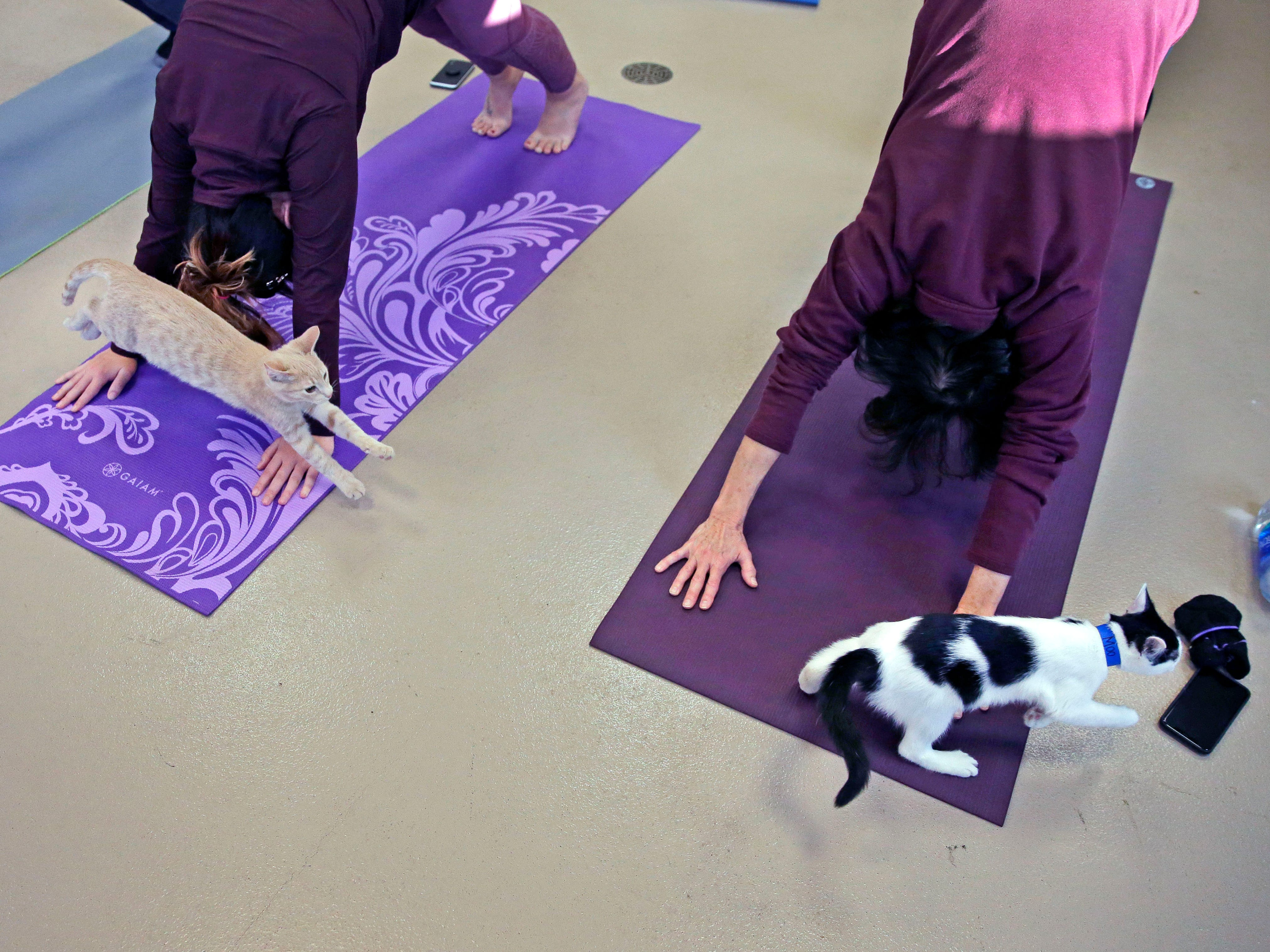 Kittens play as the Fox Valley Humane Association and Grace Under Fire Yoga bring together adoptable kittens and yoga class for Kitten Yoga on Saturday, Oct. 13, 2018, at the Fox Valley Humane Association in Appleton, Wis.