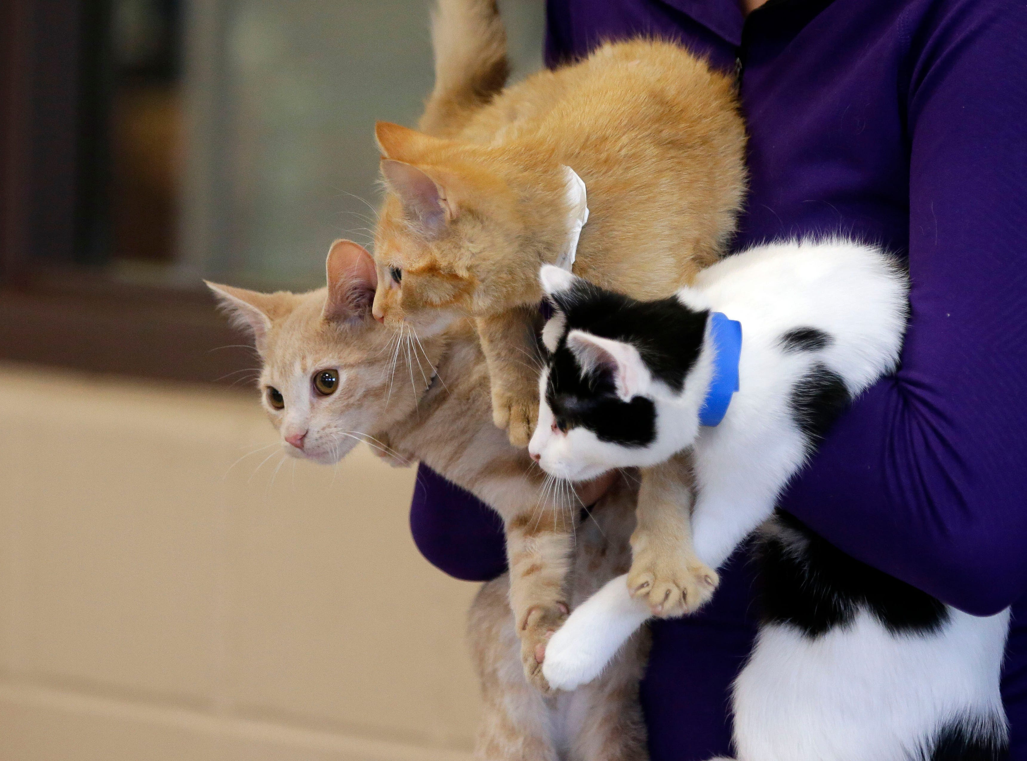 An armful of kittens arrive as the Fox Valley Humane Association and Grace Under Fire Yoga bring together adoptable kittens and yoga class for Kitten Yoga on Saturday, Oct. 13, 2018, at the Fox Valley Humane Association in Appleton, Wis.