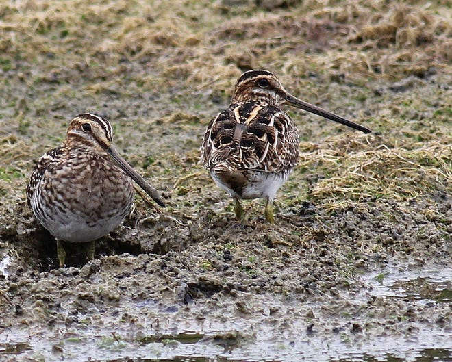 Wilson's Snipe are so camouflaged they can be hard to spot.