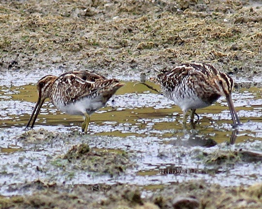 Wilson's Snipe sink their bills into wet ground in search of worms and other food.