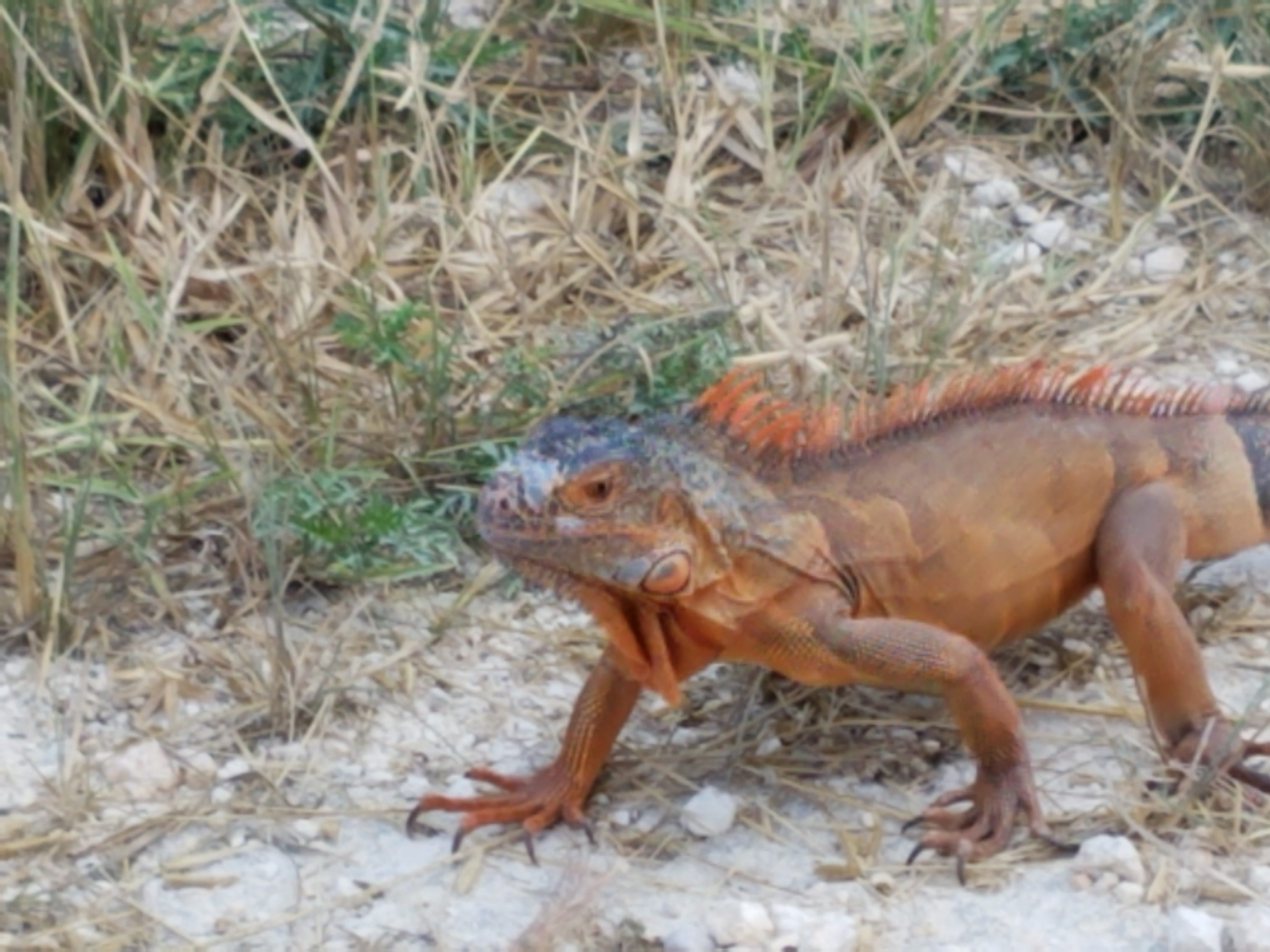 An orange iguana has been spotted at Merritt Island National Wildlife Refuge.