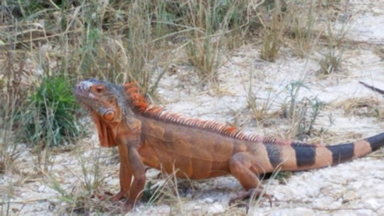 An orange iguana has been spotted at Merritt Island National Wildlife Refuge.