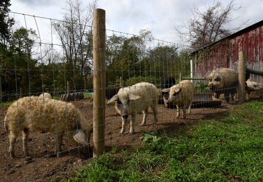 The namesake curly haired mangalitsa pigs at the Wooly Pig Farm Brewery in Fresno. The farm and brewery is one of the stops on the 48th annual Fall Foliage and Farm Tour.