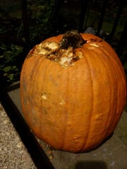 A pumpkin that's been snacked on by hungry squirrels.