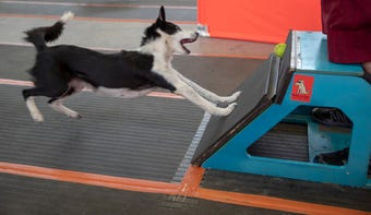 The Flyball championships were held in Indy this weekend, and the largely unknown sport pits dog against dog in a tennis ball relay.