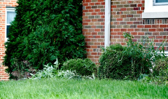 A planting area in front of an apartment building is filled with weeds at the Beloit Road Senior Apartments.