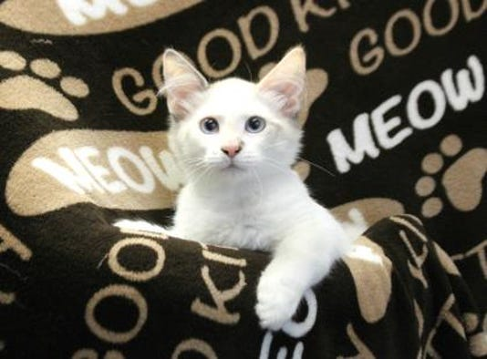 LCHS Pets of the Week: Blue-Eyed Cats