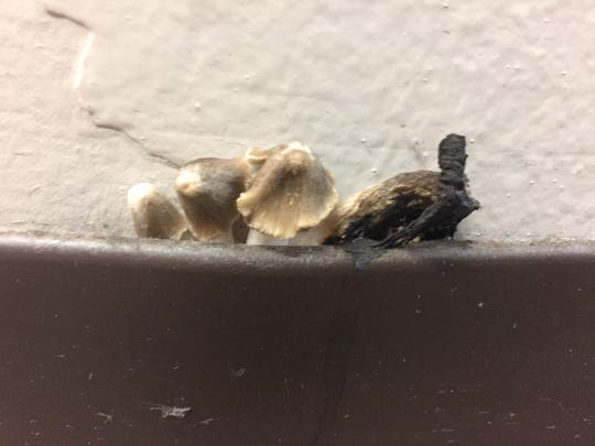 Mushrooms appear to sprout from the base of the wall on the ground floor of Heritage Hall.