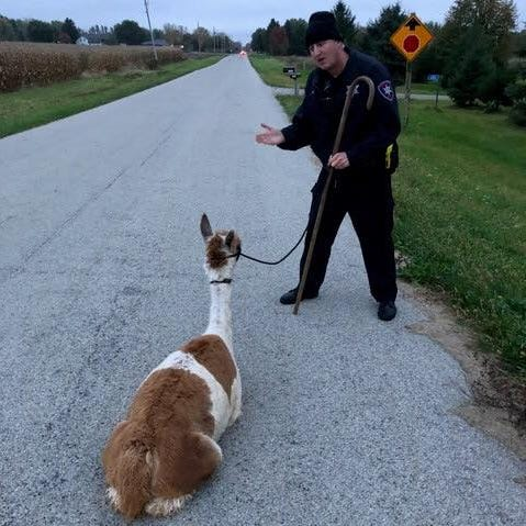 Runaway alpaca named Dandelion corralled by Winnebago County sheriff's deputy