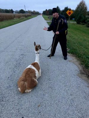 Dandelion the alpaca stubbornly resisted capture by her farmer owners and Winnebago County sheriff's deputies.