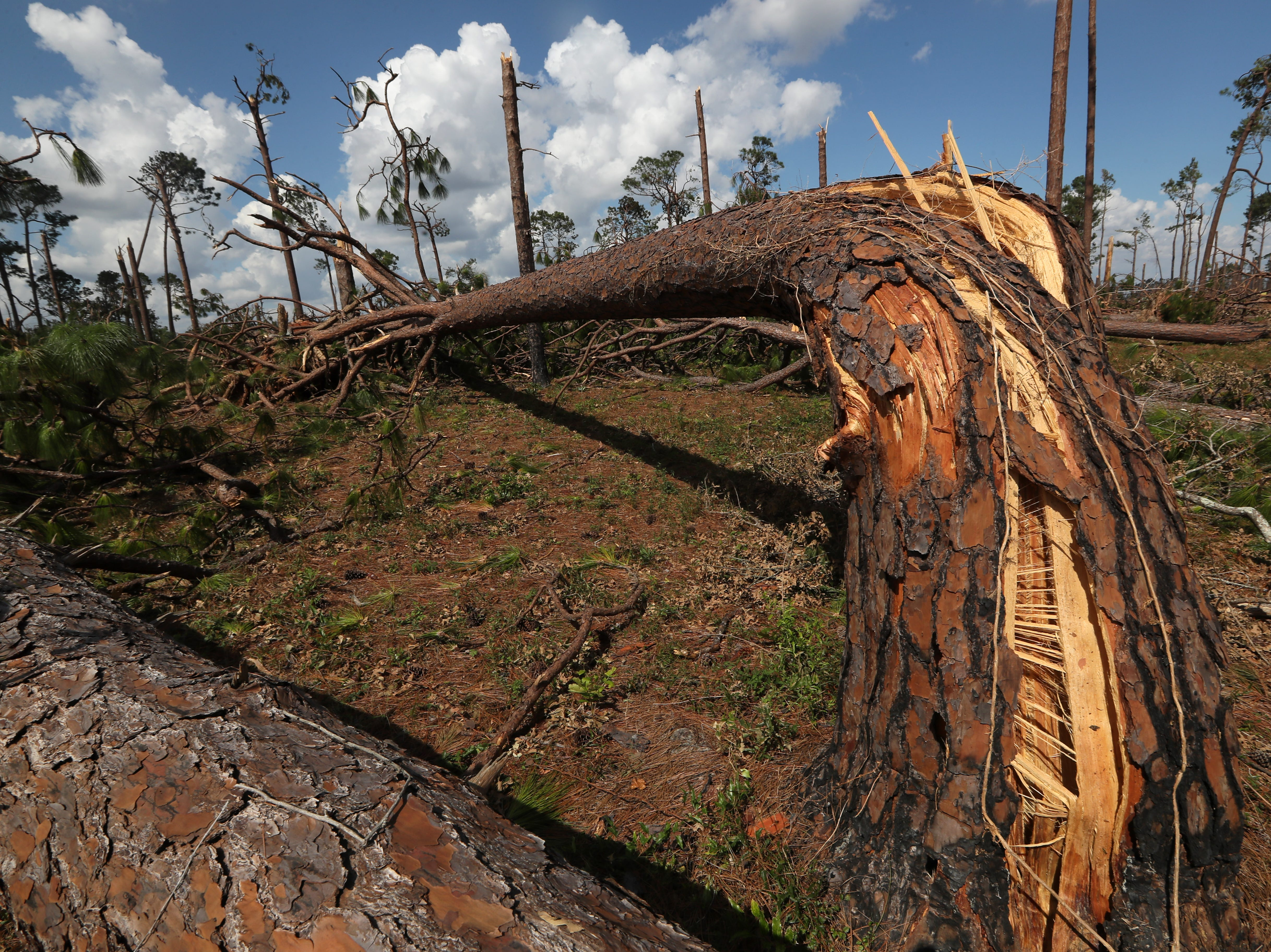 Trees are left mangled and twisted on Highway 90 between Chattahoochee and Sneads along Hurricane Michael's path on Monday, Oct. 15, 2018.