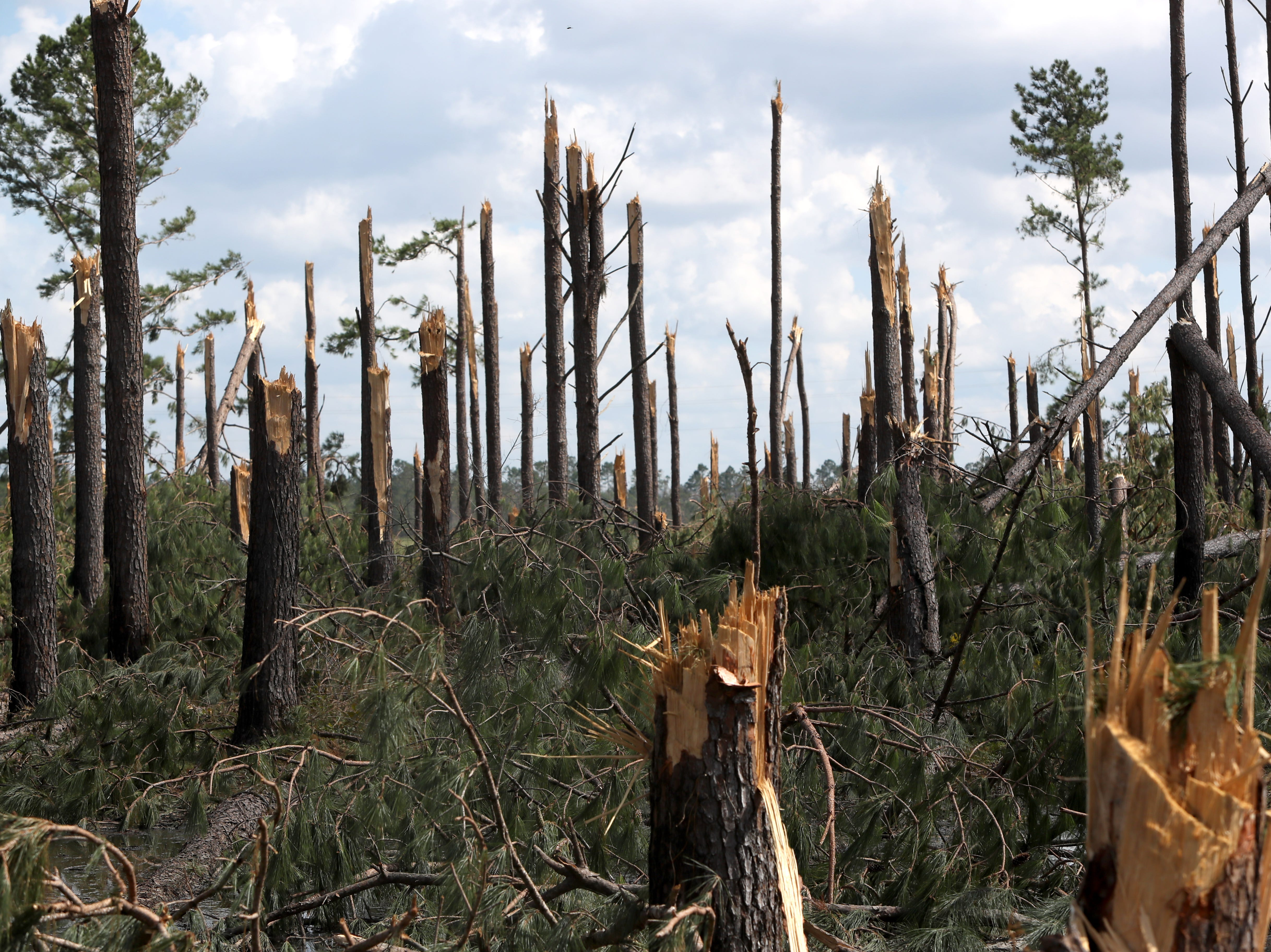 Trees along Highway 90 in between Sneads and Chattahoochee are left snapped in half along Hurricane Michael's path.