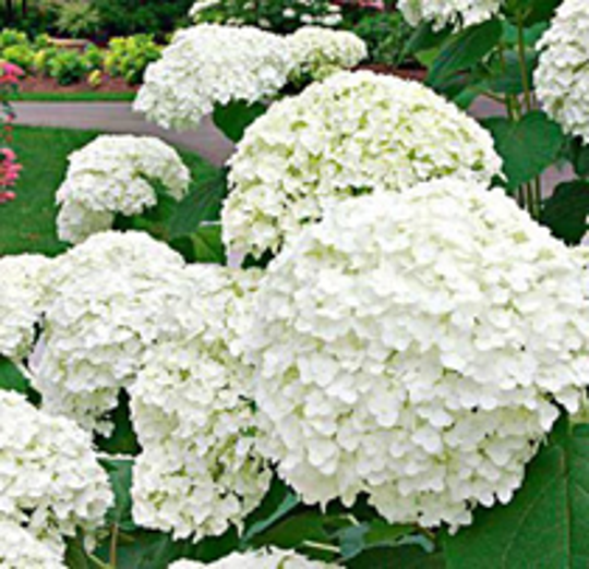 "White Hydrangeas are also available in 6"", 10"" and 14"" pots."