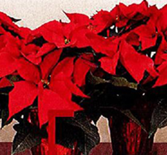 1024 Ynmc Poinsettia Sales