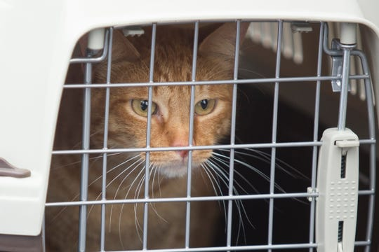 A cat arriving with more than 100 other cats rescued from Florida and airlifted to Wilmington.
