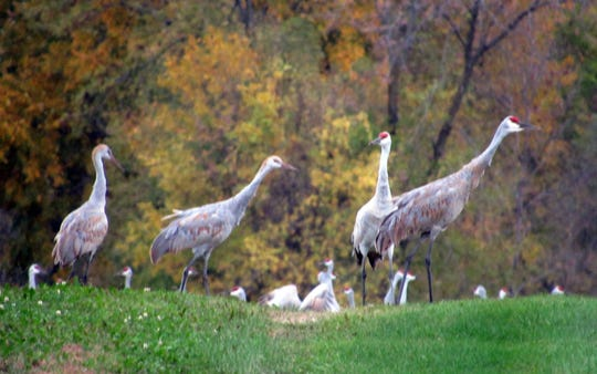 Sandhill cranes converge on Sunnybook Farm as they prepare to leave Wisconsin for warmer weather down south.