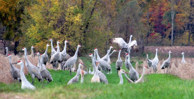 Sandhill cranes gatheri on Sunnybook Farm as they ready to fly south.
