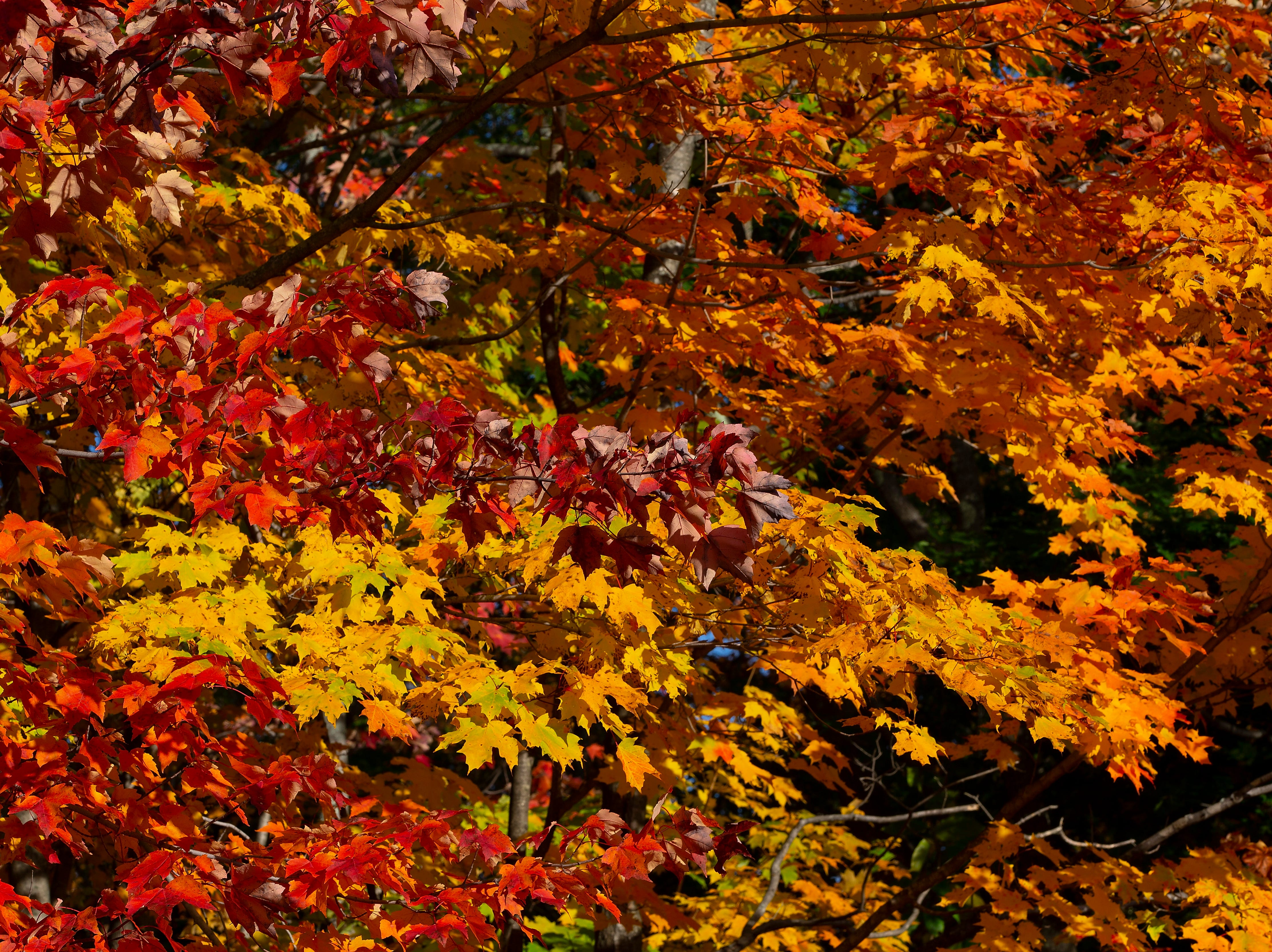 Leaves of various colors on the trees in Harts Location, N.H. on Oct. 10, 2018.