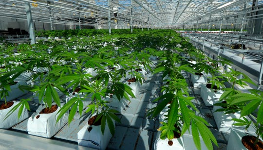 Marijuana plants are shown growing in a massive tomato greenhouse being renovated to grow pot in Delta, British Columbia. It is operated by Pure Sunfarms, a joint venture between tomato grower Village Farms International and a licensed medical marijuana producer, Emerald Health Therapeutics.
