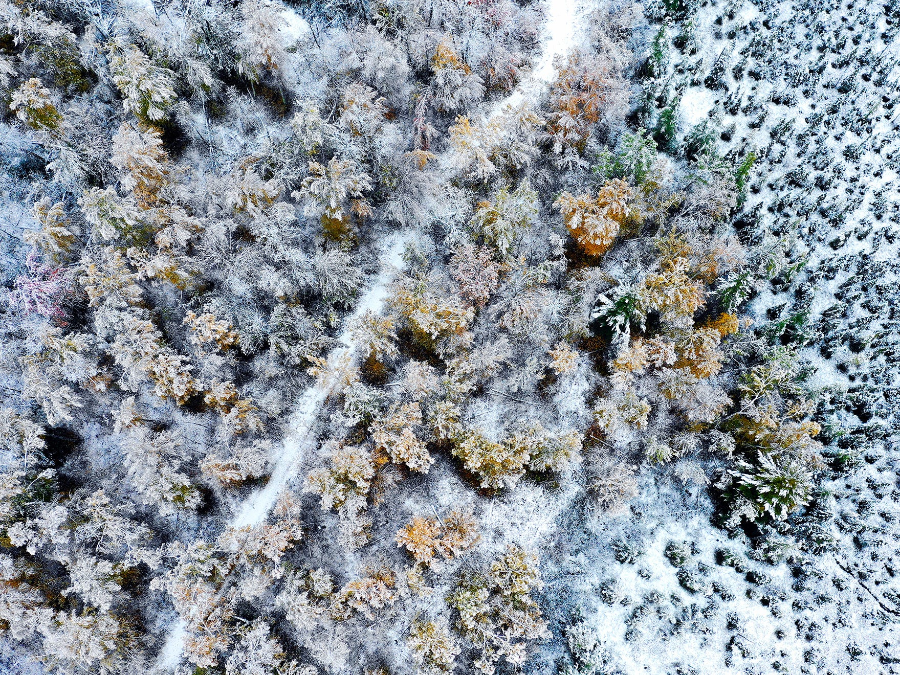 A grove of maple and aspen trees are coated with snow near Canyon, Minn., Friday, Oct. 5, 2018, after about two inches of wet snow fell overnight, coating the trees and mixing with fall colors.