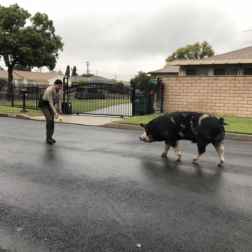 Sheriffs found a stray pig 'the size of a mini horse.' They lured it home with Doritos