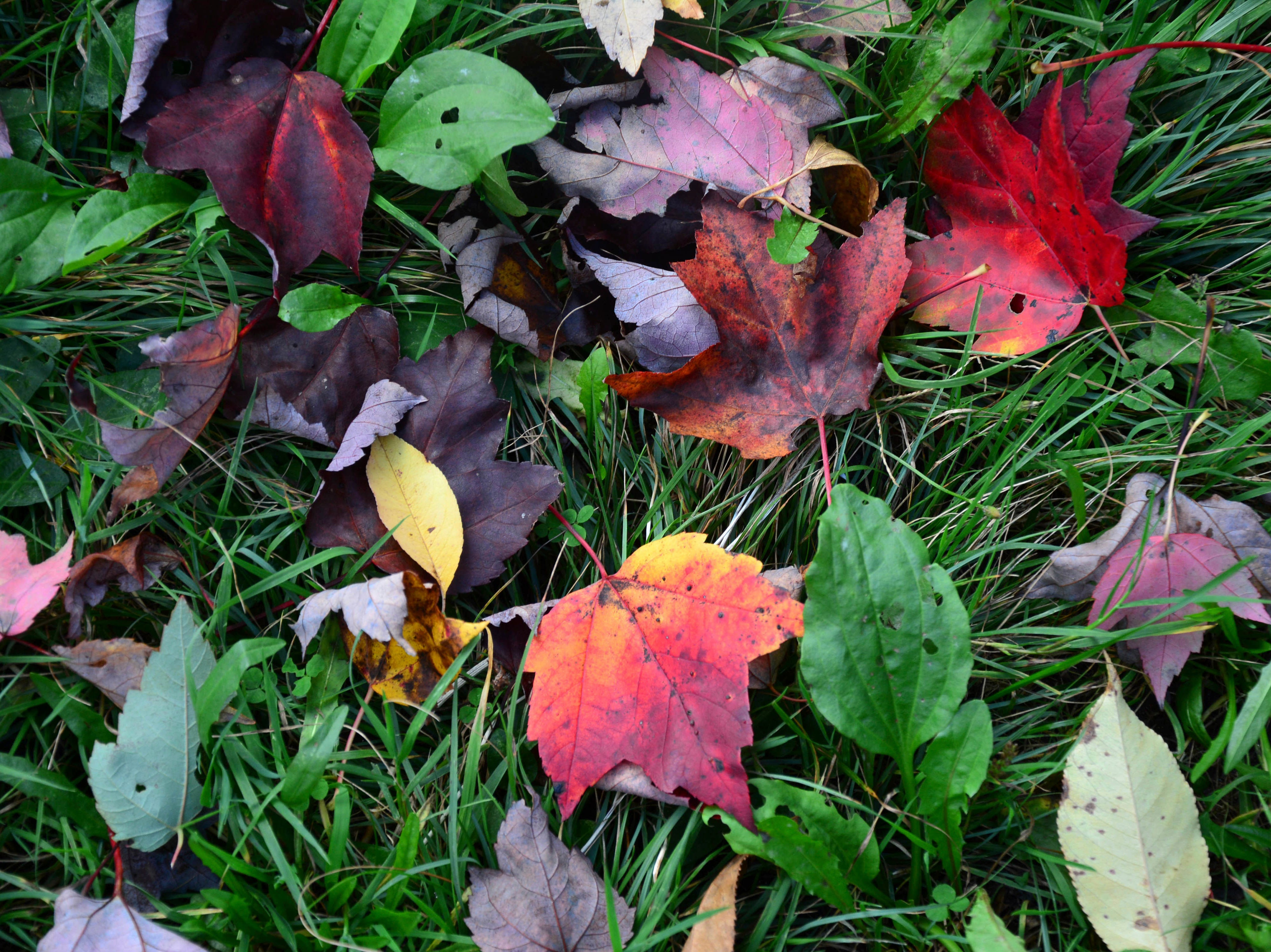 An assortment of autumn leaves lay fallen on the ground at the Savoy State Forest in Florida, Mass., Wednesday, October 10, 2018. The warm temperatures have delayed the fall foliage but finally the colors are emerging, if not somewhat muted and the region has not received its first frost of the season as of yet, so the grass is still green.