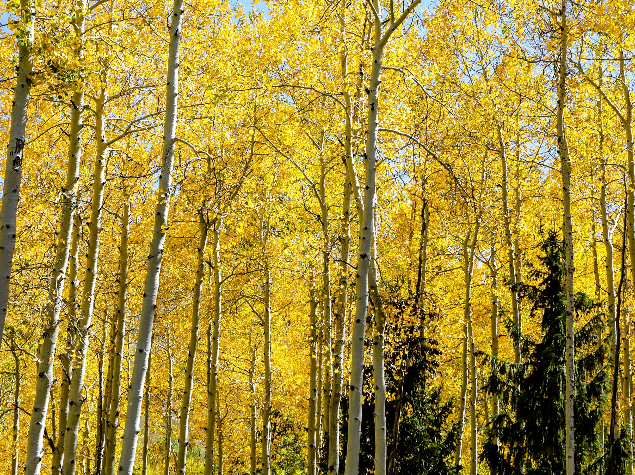 Fall colors were served up in full during The Fall Wine & Food Classic Grand Tasting Saturday, Sept. 22, 2018, in Vail, Colo. The fall food and wine event featured hiking yoga and, as always, a grand tasting.