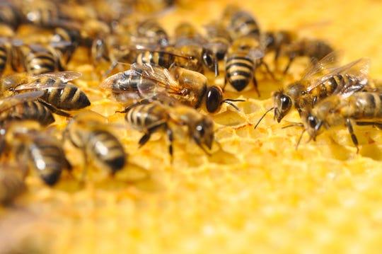 Abejón abejón o abeja macho con abeja obrera
