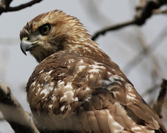 Red-tailed hawks, the most common hawk species in the United States, have a distinctive piercing cry.