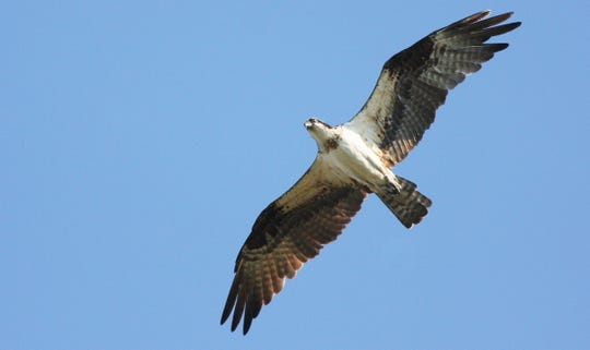 The osprey, a fish hawk that builds huge, messy nests, was nearly wiped out because of the effects of DDT, but has rebounded in New Jersey.