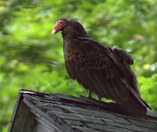Turkey vultures are scavengers distinctive not only for their bald heads but their wobbly, circular habit of flying.