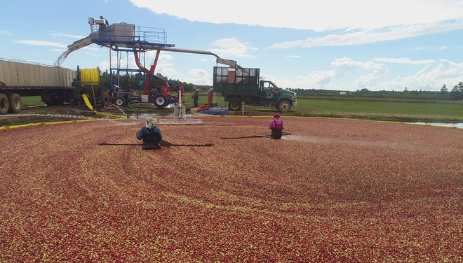 Workers at Pine Island Cranberry Co. harvest berries in a flooded bog.