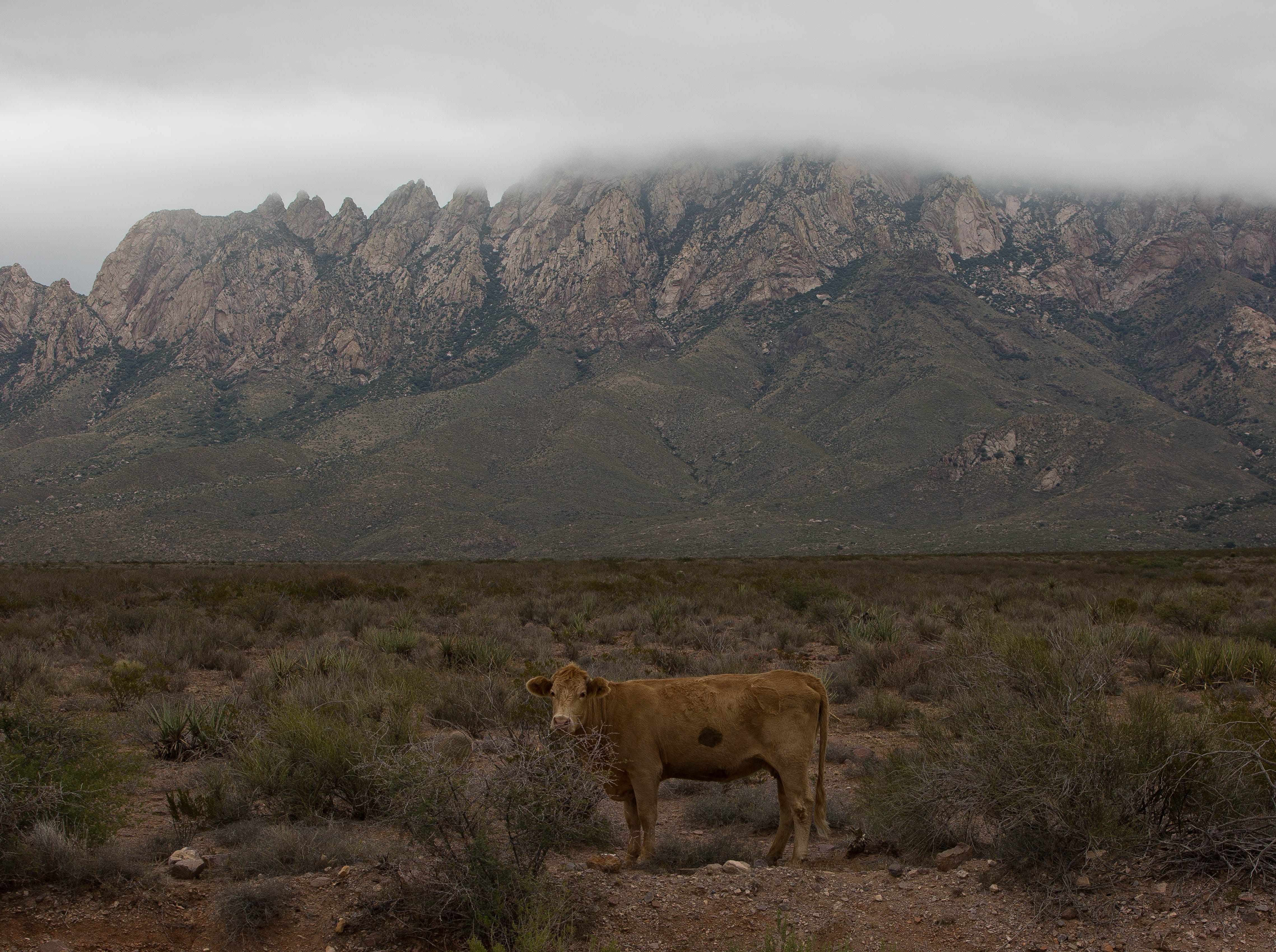 A cow wanders through the Organ Mountains- Desert Peaks National Monument , Tuesday October 16, 2018, near the Baylor Canyon Road.