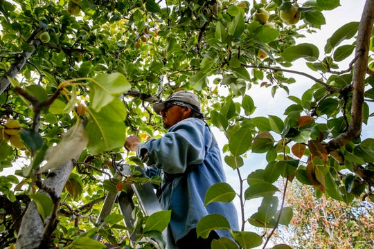 Michael Gomez picks winter pears Tuesday at Kerby Orchard in Farmington.