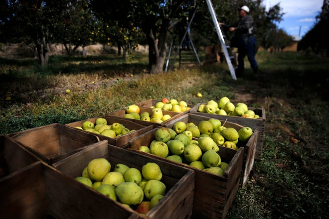 Workers harvest winter pears Tuesday at Kerby Orchard in Farmington. Later this week, workers will begin harvesting Fuji apples and preparing them for sale.
