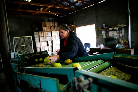 Roxanne Kerby sorts winter pears Tuesday at Kerby Orchard in Farmington.