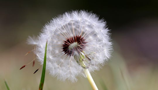 "When development is complete, the mature seeds are attached to white, fluffy ""parachutes"" which easily detach from the seed head, glide by wind, and disperse."
