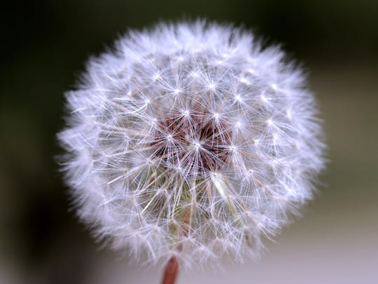 The flower heads mature into spherical seed heads called blowballs or clocks containing many single-seeded fruits called achenes.