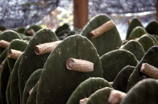 Growing cochineal for dye, tube nurseries are attached to each paddle to encourage infestation for later harvest.