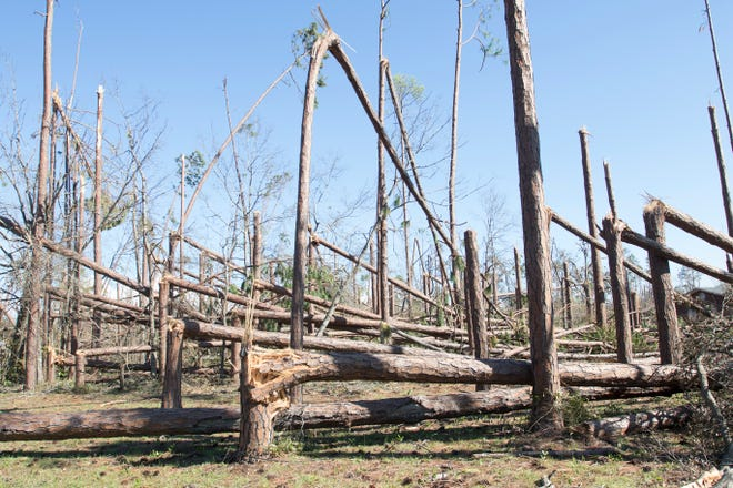 A section of fallen trees are seen Tuesday, Oct. 16, 2018, in Panama City, days after Hurricane Michael ripped through the area.