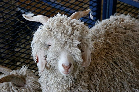 Img Sheep3 Jpg 20091015 1 1 6t8rb0qs Jpg 20141018