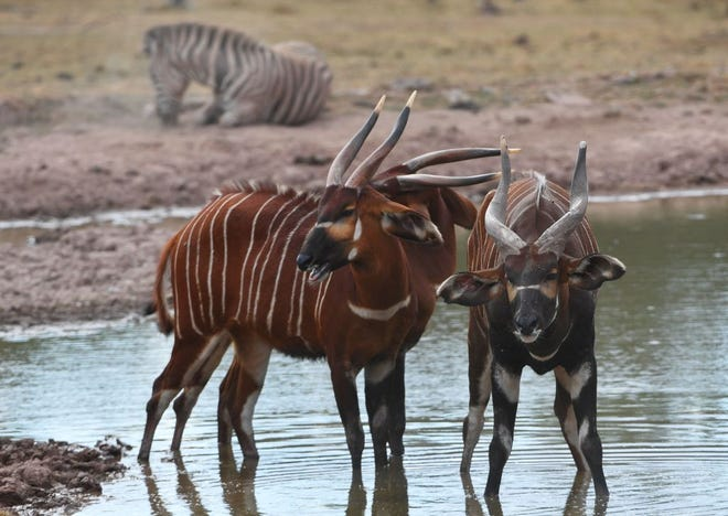 """File photos: Female bongos (antelope) are seen at the wildlife park """"Monde Sauvage"""" in Aywaille, Belgium on July 31, 2018."""