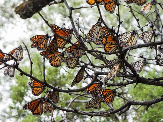 Scientists say the number of monarch butterflies is at its highest point in over a decade.