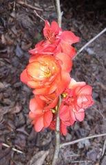 Flowering quince, Chaenomeles 'Chojuraku', orange-red double ruffle.