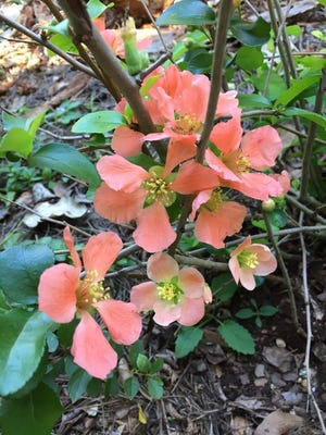 An easy-care plant that deer and rabbits will leave alone. The flowering quince, Chaenomeles 'Cameo', single apricot colored petals.