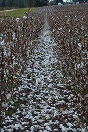Michael Hurricane eliminates 95 percent of Florida cotton crops
