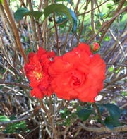 Flowering quince, Chaenomeles x superba, double ruffle red.