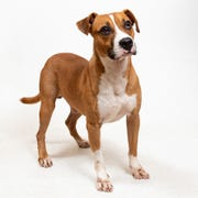Nelson is a local heartworm positive dog.